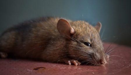 Control de ratas en el hogar