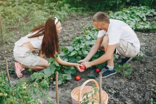 Cultivar tomates